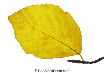 leaf of beech tree in autumn
