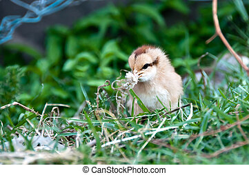 Baby chicken eating
