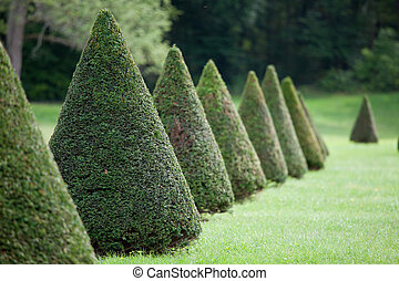 Line of cone evergreen box tree bushes in cultivated park -...