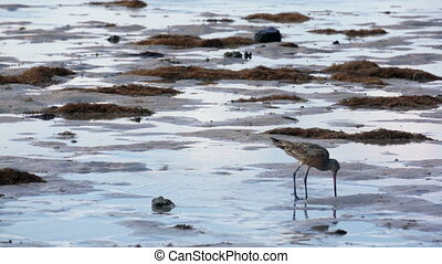 Sandpiper on the Beach - A lone sandpiper bird on the beach...