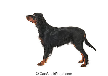 Gordon Setter - gordon Setter in show stand isolated over...