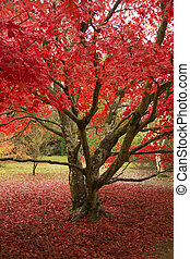 Red autumn leaves - Vibrant colour at Sheffield Park in...