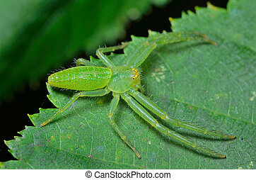 Spider on leaf 2 - A close up of the small green spider on...