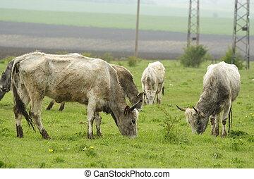Bulgarian gray cattle grazing in the field