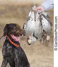 Hunting Dog with Sharptailed Grouse - Hunting Dog wiht limit...
