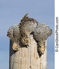 Sharptailed Grouse - North Dakotan Sharptailed Grouse