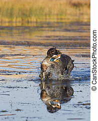 Hunting Dog in the water - Hunting dog in the water with a...