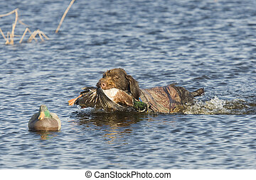 Duck Hunting - Dog with a duck in the decoys