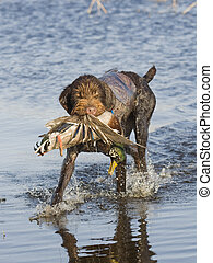 Duck Hunting - Hunting Dog with a Mallard Duck
