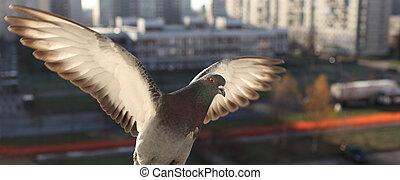 White dove  in flight