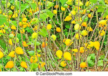 aubergine,solanum mammosum plant
