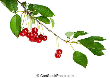 Cherry branch with leaves and few berries isolated on the...