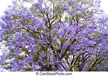 violet tree Jacaranda, growing in the province of...