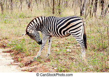 Zebra  in the Kruger National  Park, South Africa.