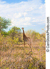 African landscape and giraffe in national Kruger Park in South Africa