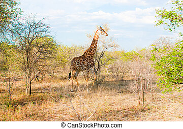 African landscape and giraffe in national Kruger Park in...