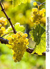 weintrtauben on the vine in the vineyard - vintage in...