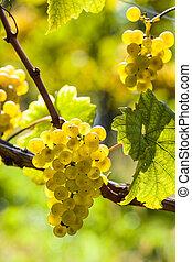 weintrtauben on the vine in the vineyard - vintage in...