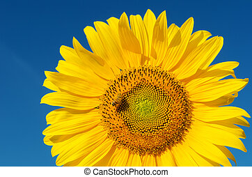 sunflower with bee under deep blue sky