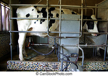 Milking machine - Cow being milked by a milking machine.