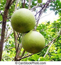 pomelo, owoc