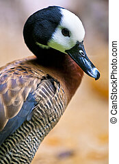 White-faced Whistling Duck close-up profile