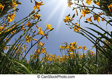 Garden yellow and orange lilies in the spring - Blossoming...