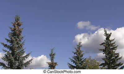 Spruce tops and blue sky - White spruce tops with cones...