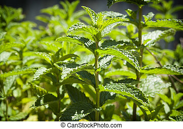 Mint Garden - Fresh mint growing in a herb garden