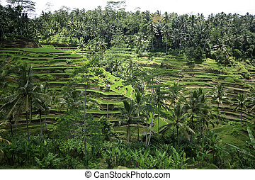 Rice terraces on Bali. Indonesia