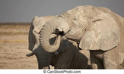 Elephant drinking water - Large African elephant Loxodonta...