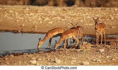 Impala antelopes at waterhole - Impala antelopes (Aepyceros...