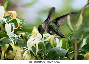 Humming Bird - A female ruby throated humming bird taking...