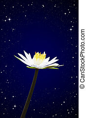 lotus white night sky background