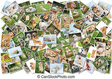 Dog collage - 101 pieces - A collage of photos of golden...
