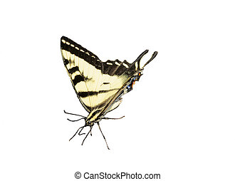 Western Tiger Swallowtail Butterfly on white background