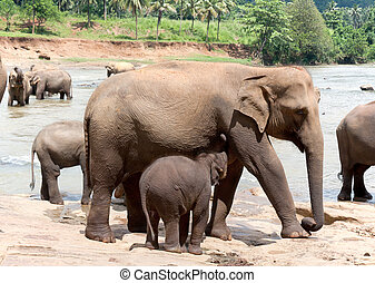 Mother elephant and baby - A female elephant feeds the baby....