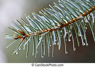 Spruce needles with water drops