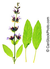 Sage Salvia officinalis, isolated against a white background...