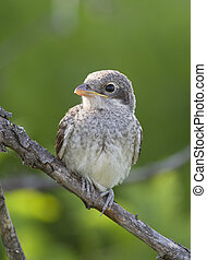 Young Red backed Shrike (Lanius collurio) on a dead branch....