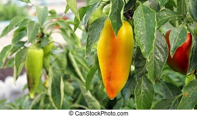 Fresh organic sweet pepper in a garden