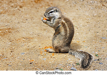 Ground Squirrel - Little Ground Squirrel Xerus inaurus Eats...