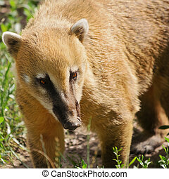 Coatimundi - Portrait Of The Coatimundi On The Nature
