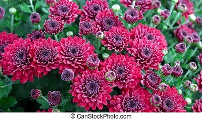 Flowerbed of purple chrysanthemums