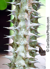 close-up crown of thorns (scientific name: Euphorbia...