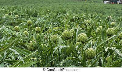 artichokes growing, Salinas Valley - artichokes in field...