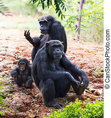 The family of a chimpanzee sitting and relax in the nature.