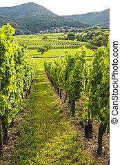 Vineyards in Alsace (France)