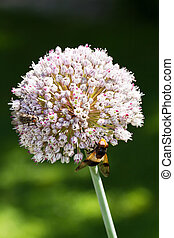 Onion flower insects - Onion flower, allium cepa, with all...