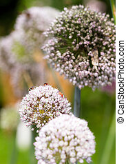 Onion flower heads, Allium cepa, with lots of insects on...